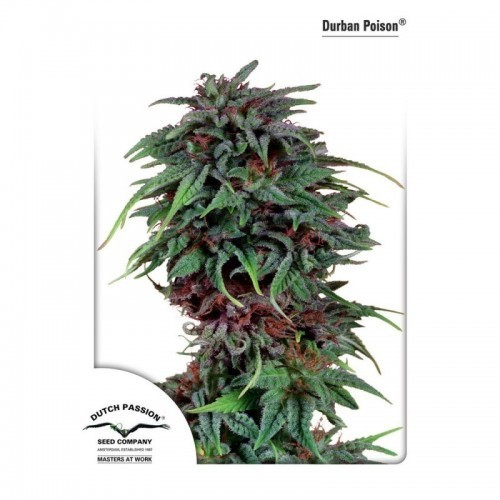 Durban Poison Regular