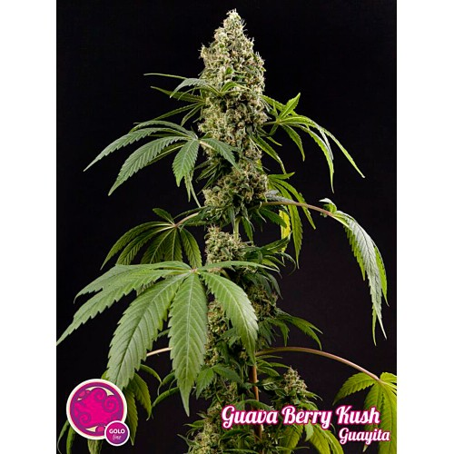Guava Berry Kush
