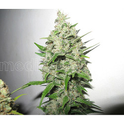 Black Dream 9 fem