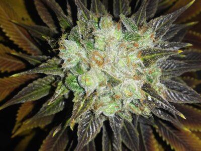 Cuándo y cómo cosechar tus plantas de cannabis
